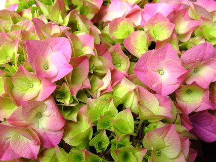 FOTKA - detail květů růžové hortenzie
