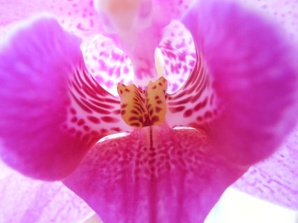 FOTKA - pohled do nitra orchidejky
