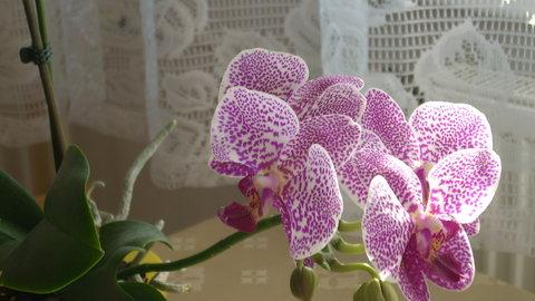 FOTKA - moje orchidej
