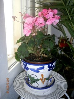 FOTKA -  kvetou po celou zimu i venku