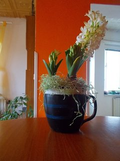 FOTKA - Hyacint kvete