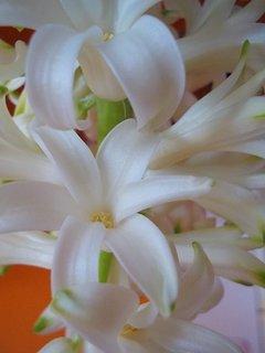FOTKA - Bílý kvítek hyacintu