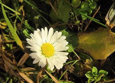 FOTKA - jaro na trávníčku..sedmikráska