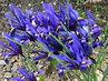 nízké irisy