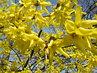 forsythie kvetou