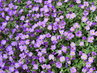 kobereček v květu