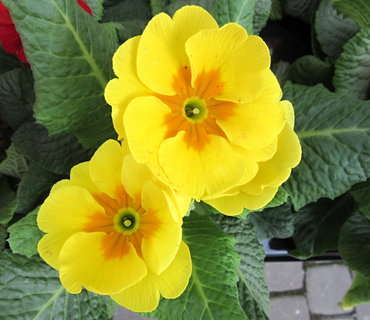 FOTKA - žlutý v květináčku