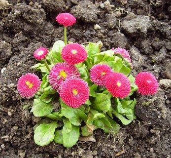 FOTKA - zahradní sedmikrásky  -  červené