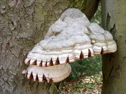 FOTKA - choroš na stromě - velký