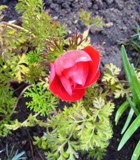 FOTKA - zahradní sasanka  -  červená