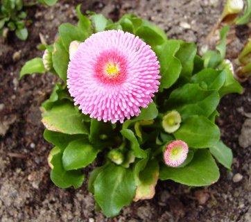 FOTKA - sedmikráska  -  růžová