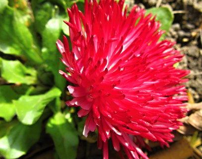 FOTKA - červená sedmikráska