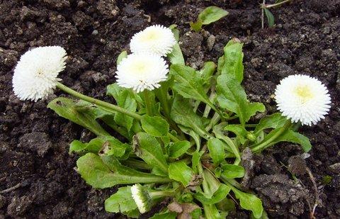 FOTKA - zahradní sedmikráska  -  bílá