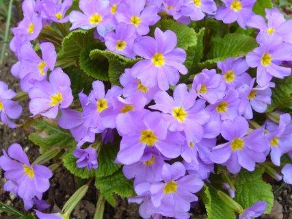 FOTKA - rozkvetlá zahradní primulka
