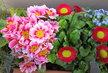 truhlík ještě v květu