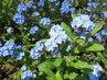modré pomněnky