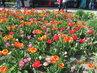 Různobarevné tulipány