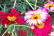 pěkné květy kopretinek