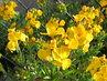 žluté kvítky