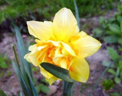 FOTKA - žlutá plnokvětá