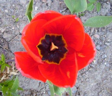 FOTKA - střed červeného tulipánu