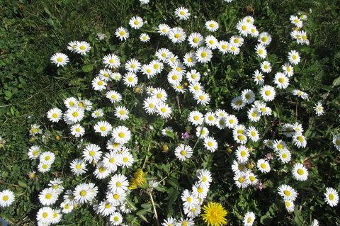 FOTKA - Sídliště v květu - rozkvetlé  trávníky