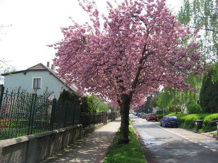 FOTKA - Sídliště v květu - většina ulic je růžových