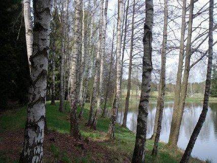 FOTKA - břízy kolem rybníka