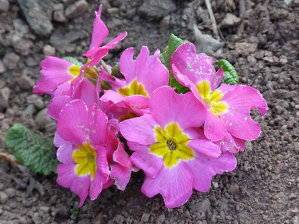 FOTKA - Fialovo-růžový petrklíč