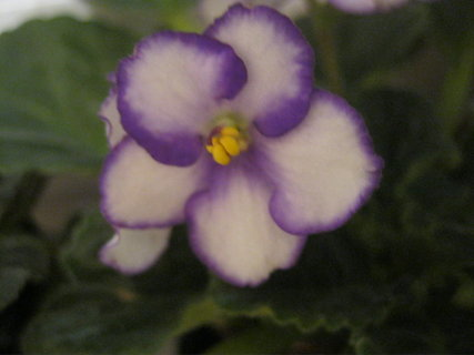 FOTKA - fialka fialová