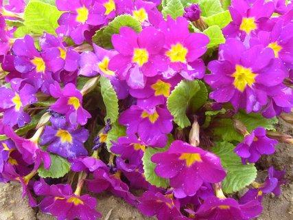 FOTKA - petrklíč  -  fialkový