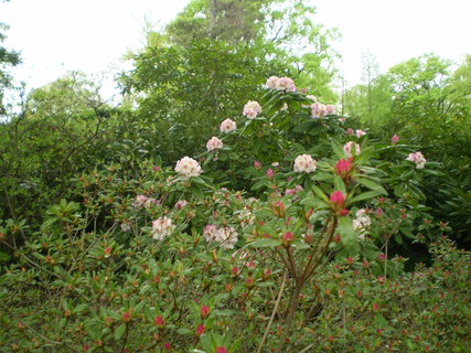FOTKA - Roododendrony červený a růžový