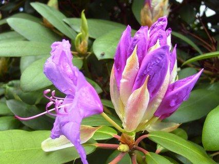 FOTKA - rozkvétající rhododendron