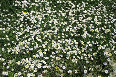 FOTKA - Sedmikráskový trávník