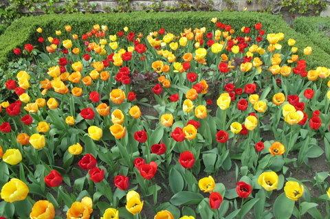 FOTKA - ...a přinesl mi rudý tulipán...