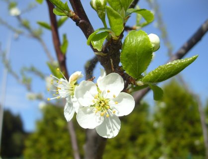 FOTKA - první květy na mladé švestce