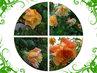 čtyřlístek růží