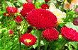 červené sedmikrásky