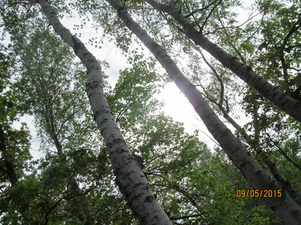 FOTKA - Břízy v lese