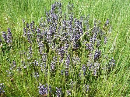 FOTKA - fialková v trávě
