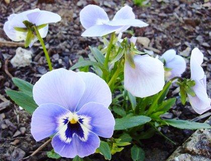FOTKA - světle modré macešky
