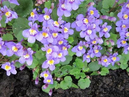 FOTKA - droboučké fialové