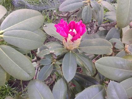 FOTKA - Kvete růžovo červeně