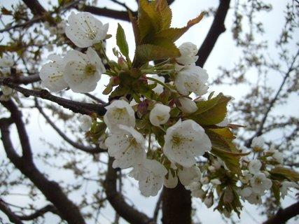 FOTKA - třešeň  -  kvetoucí větvička