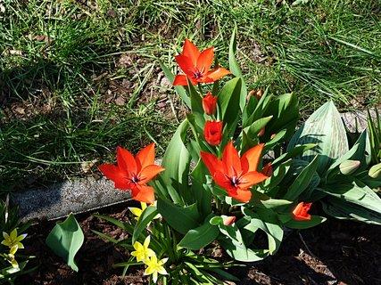 FOTKA - Tulipány ve skalce