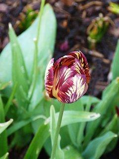 FOTKA - Žíhaný tulipán