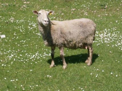 FOTKA - ovčí máma