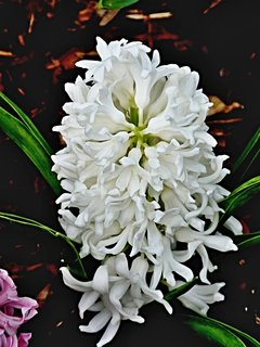 FOTKA - Bílý hyacint