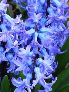 FOTKA - Květy modrého hyacintu