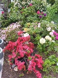 FOTKA - Pohled z vrchu na azalkya rododendrony